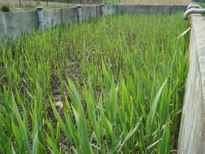 Lits de séchages plantés